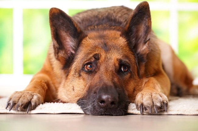 'VIDEO' Perro salva a su dueña cuando la puerta de casa se había cerrado sin querer