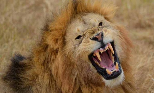 'VIDEO' Épico momento de un hombre con una chancla vs 7 leones
