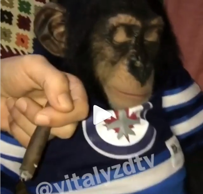 VÍDEO. Blogero hace fumar droga a un mono y las redes se indignan