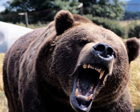 Filman los Últimos minutos de un pescador Ruso asechado por un oso asesino