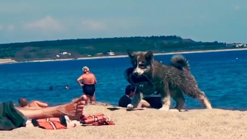 """'VIDEO' Bello perro en una playa """"roba"""" una chancla y su alegría no tiene fin"""