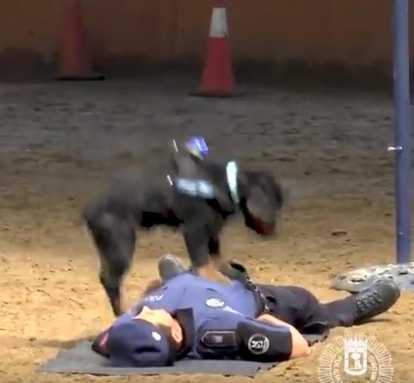 Perro prueba estar capacitado para salvar vidas y se vuelve viral en las redes sociales