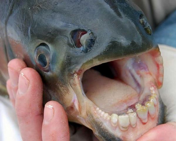 Niña pesca raro pez con dientes humanos.