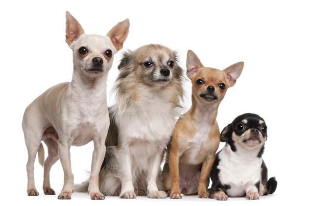 Increible. Descubre como los perros chihuahuas pueden curar el asma