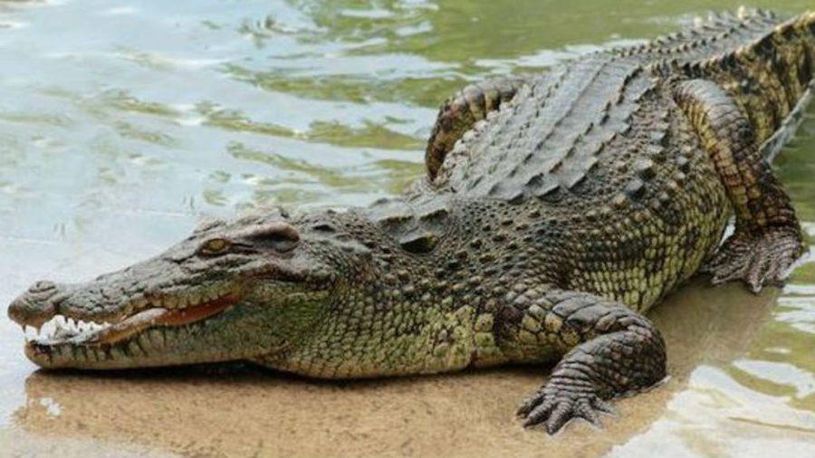 Impresionante video en que un cocodrilo se devora a otro mas pequeño para poder sobrevivir