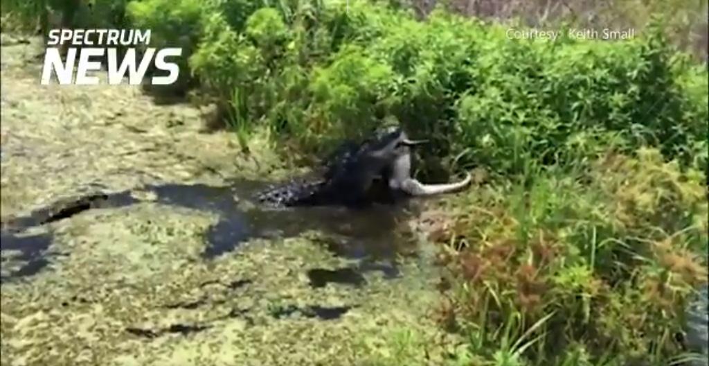'VÍDEO' Por hambre devoró cruelmente a un cocodrilo más pequeño
