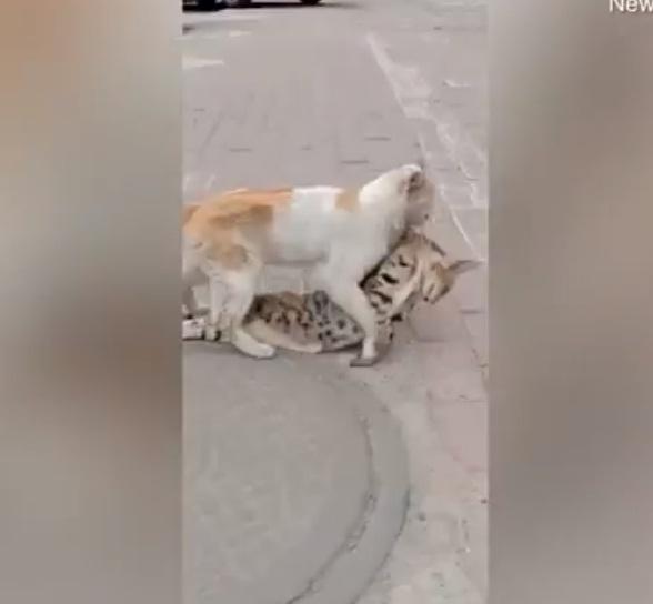 'VÍDEO' ¡Conmovedor! Gatito se niega a abandonar en cuerpo de su amigo muerto