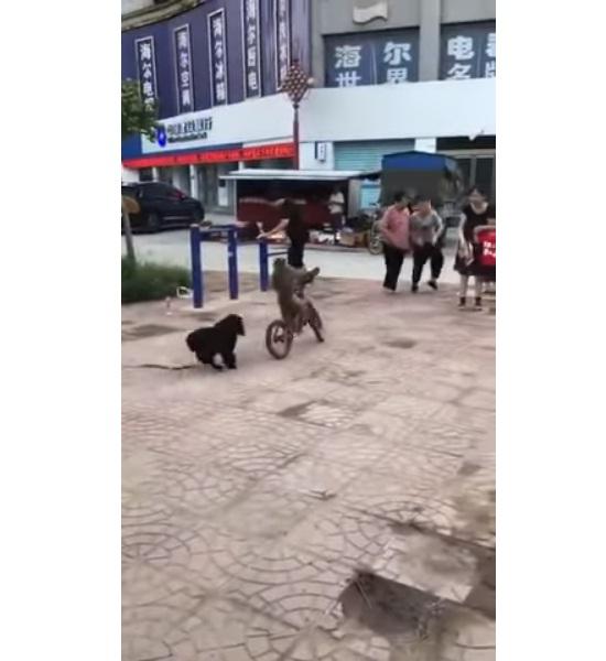'VÍDEO' Perro persigue a un mono que iba en una bicicleta