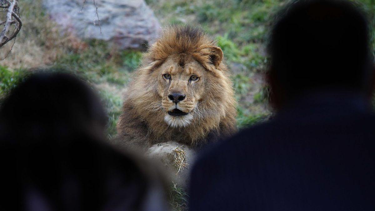 VIDEO: Un borracho cae en casa de leones y no imaginas como terminó