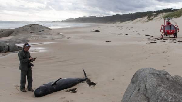 Mueren 145 ballenas tras quedar varadas en una playa neozelandesa
