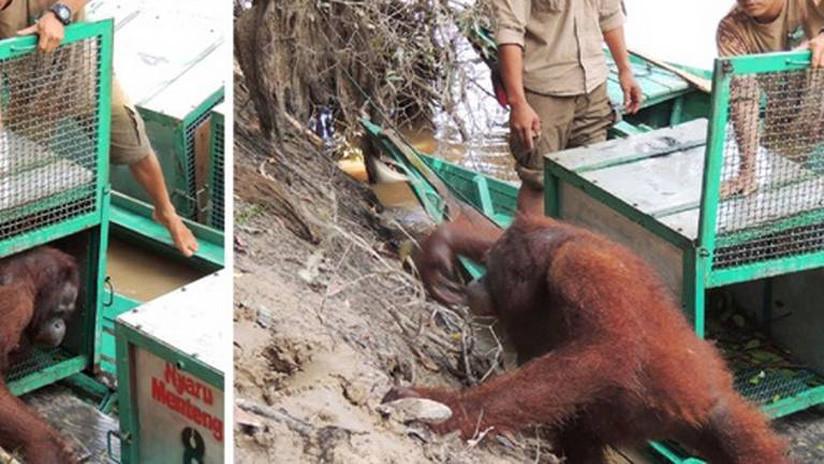 Orangutana la tratan como prostituta, sufre violación en un burdel y es rescarada después de lo acontecido