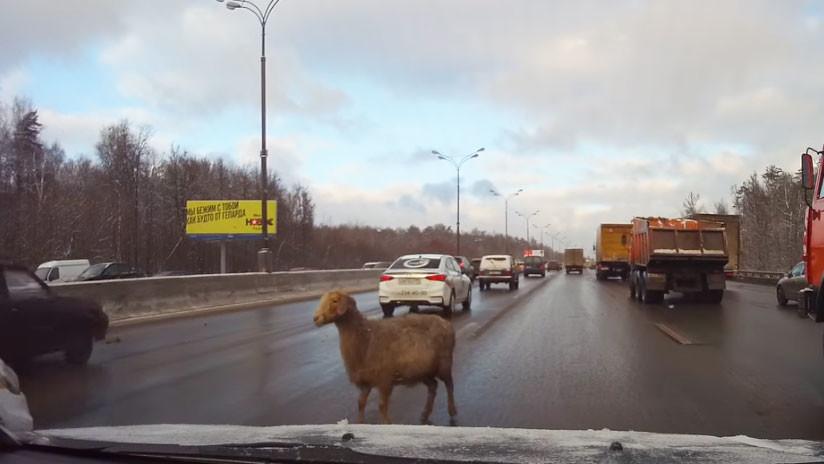Oveja atrevida se pasea entre los coches en la vía más rápida de circunvalación Moscú